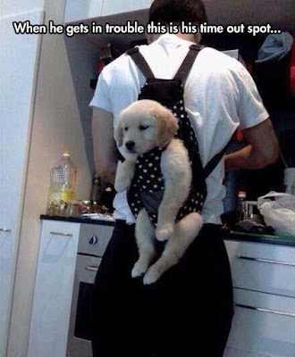 golden retriever puppy, golden retriever puppy in ergo carrier, golden retriever puppy strapped to man, golden retriever funny, golden retriever humor, puppy humor, puppy funny, puppy in trouble, puppy in time out, when he gets in trouble time out spot