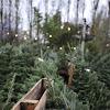Idealny zapach świątecznego drzewka - moje poszukiwania