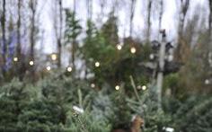 Idealny zapach świątecznego drzewka - moje poszukiwania - Czytaj więcej »