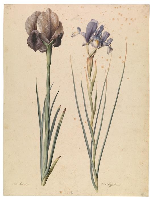 Mostra Jacopo Ligozzi Firenze - Iride inglese (Iris Susiana L.), Giaggiolo orientale (Iris Xyphium L.), 1577-1587 ca
