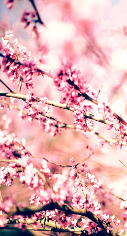 Cheery Flowers Spring Hd Wallpaper Wallpapers Home Screen