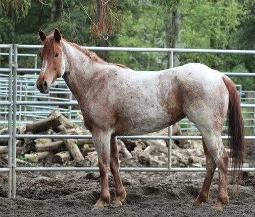Strawberry Roan Horses picture 2