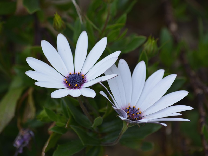 Download White Petal Flowers HD wallpaper. Click Visit page Button for More Images.