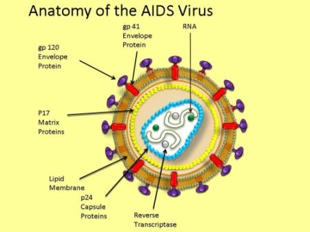 respon imun terhadap infeksi virus hiv. Black Bedroom Furniture Sets. Home Design Ideas