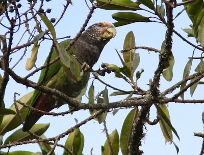 white capped Parrot