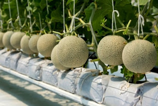 Cara Menanam dan Merawat Melon Hidroponik untuk pemula