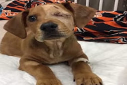Puppy who had tail, legs severed in train accident now need forever home