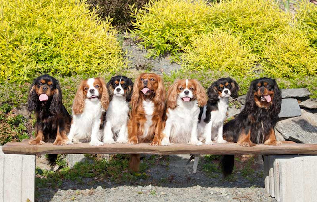Seven happy Cavalier King Charles Spaniel dogs on a bench