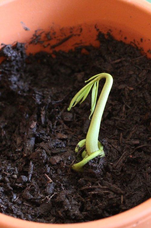 My Tropical Organic Garden: How I grow mango from seed  |Mango Seed Inside