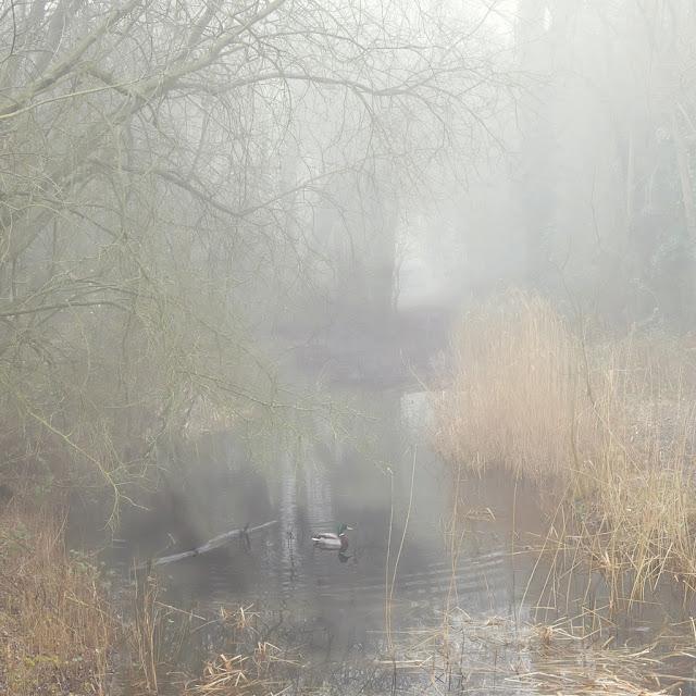Mallard duck swimming in mist shrouded inlet
