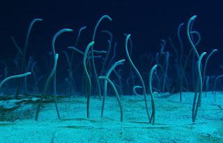 http://www.allfiveoceans.com/2016/11/creepy-garden-eels.html