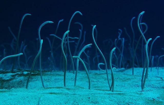 Garden Eels Dancing