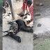 Leão de circo escapa de jaula em Serrinha e mata 30 animais