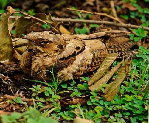 Indian birds - Caprimulgus indicus