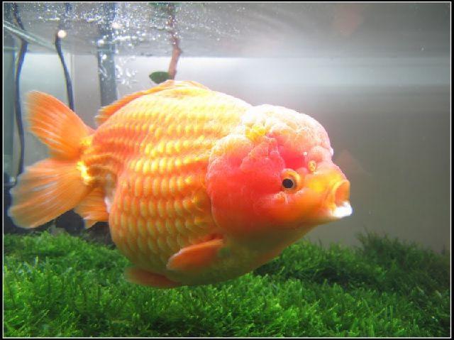 Cara Merawat Ikan Mas Koki Mutiara