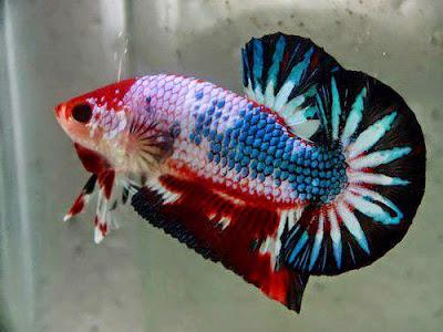 Cara Memelihara Ikan Cupang Hias agar cepat bertelur
