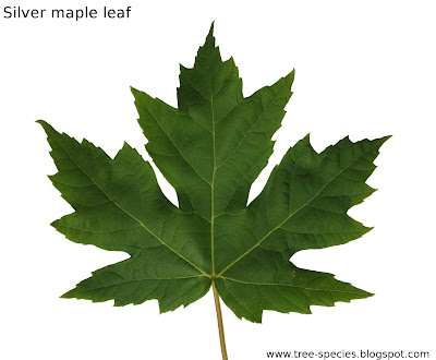 The World 180 S Tree Species Silver Maple Leaf