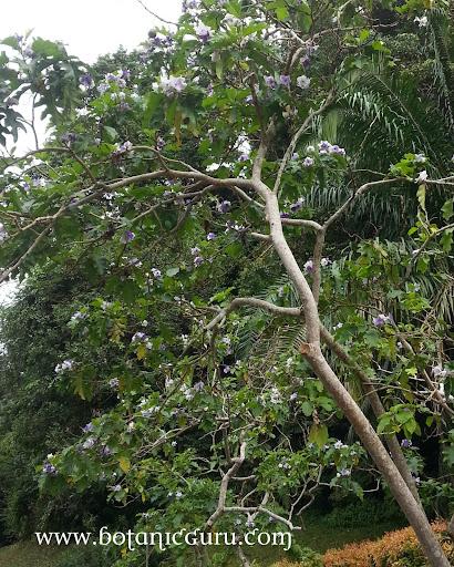 Solanum wrightii tree