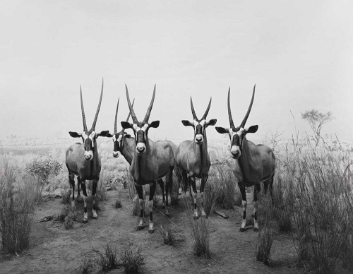 Gemsbok photo by Hiroshi Sugimoto - 1980 | blanco y negro imagenes bonitas chidas bellas, cool stuff, art pictures
