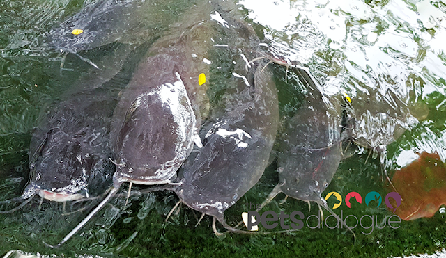 Four Catfishes