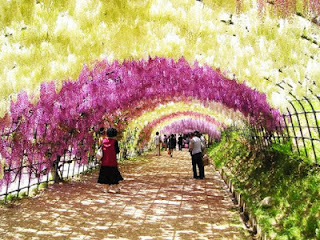 Terowongan Wisteria, Taman Kawachi Fuji