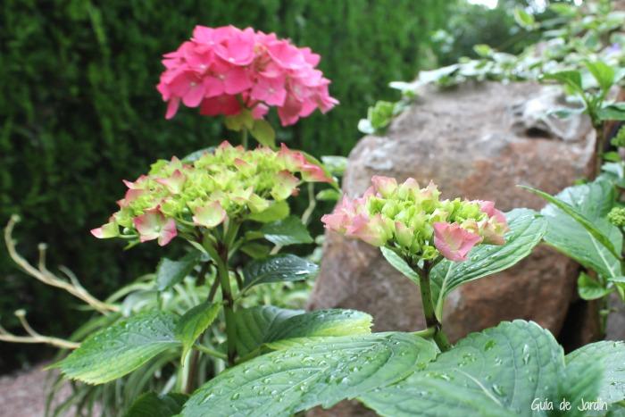 las hortensias rosas y azules las blancas no se pueden cambiar a un color diferente adems la intensidad del tono tampoco se puede alterar