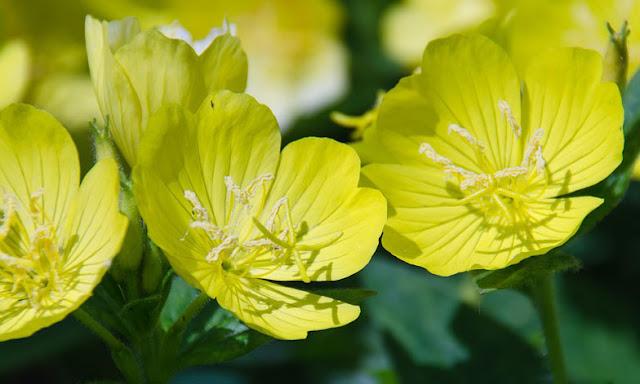 evening primrose oil  for menopause nursing