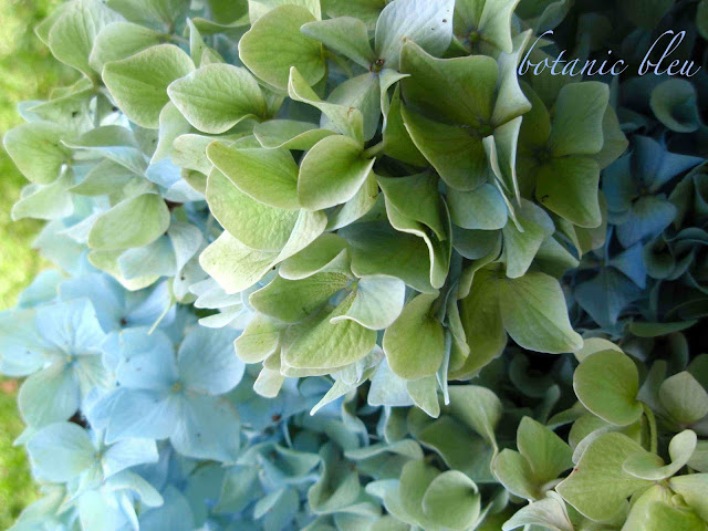 Blue hydrangeas fade to green as the blossoms age