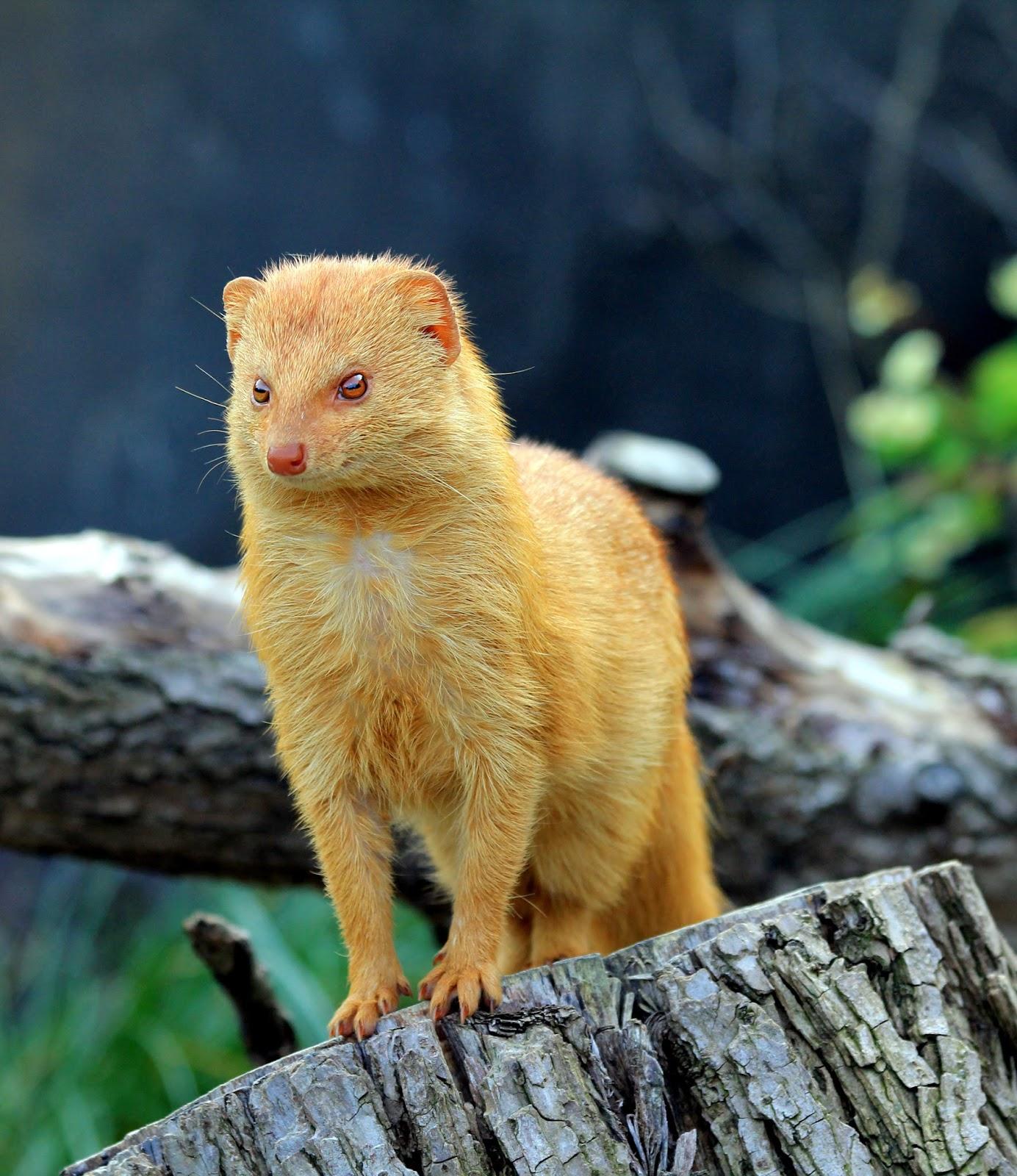 Mammals Animals: Galerella sanguinea Zoo Praha