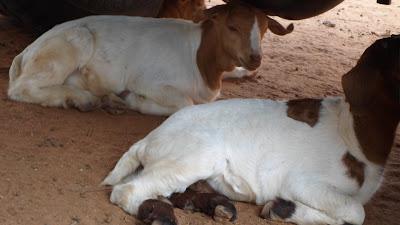 SAM 2099%2B %2BCopy - Ufugaji katika shamba la Rushu Ranchi Kisarawe