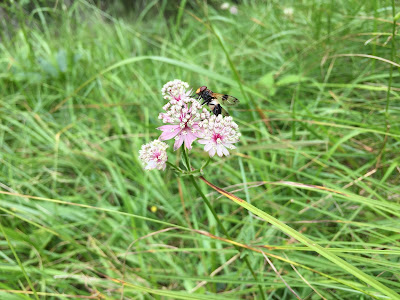[Apiaceae] Astrantia major – Great Masterwort (Astranzia maggiore).