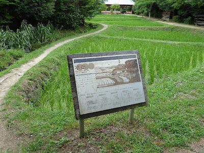 花博記念公園鶴見緑地 水田