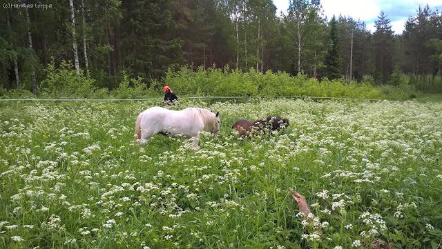 ponies on field