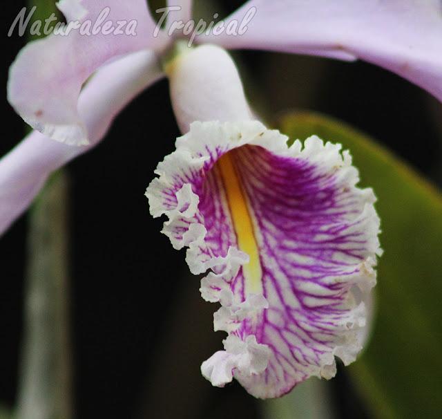 Vista del labelo de la orquídea Cattleya maxima