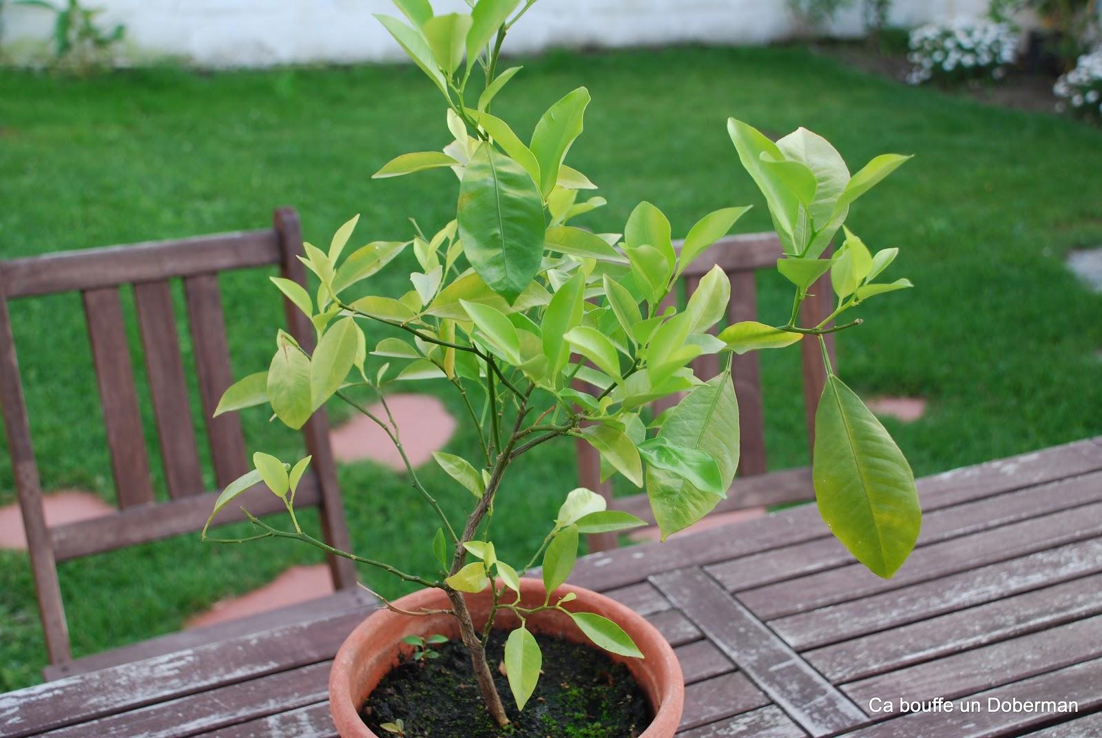 Comment Cultiver Un Citronnier En Pot ca bouffe un doberman: comment obtenir de beaux citronniers