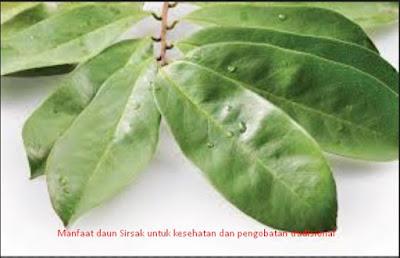Manfaat Daun Sirsak Untuk Kesehatan dan Pengobatan Tradisional