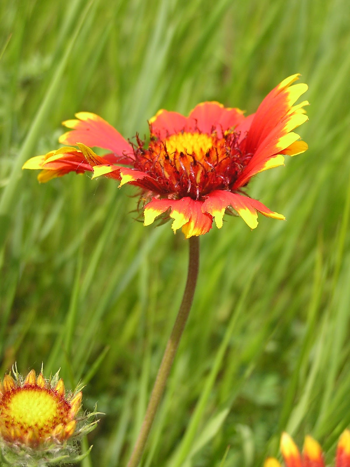 Plant world gaillardia aristata bijou is a dwarf seed strain that typically grows to only 10 12 tall it features orange red daisy like flowers to 3 diameter with yellow tipped rays izmirmasajfo Gallery
