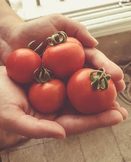 Uprawa czerwonych pomidorków koktajlowych na balkonie