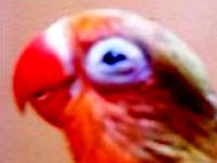 Cara Mengobati Penyakit Mata SNOT Lovebird