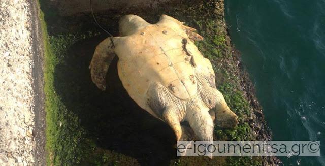 Εντοπίστηκε νεκρή χελώνα καρέτα καρέτα στο λιμάνι Ηγουμενίτσας (+ΦΩΤΟ)
