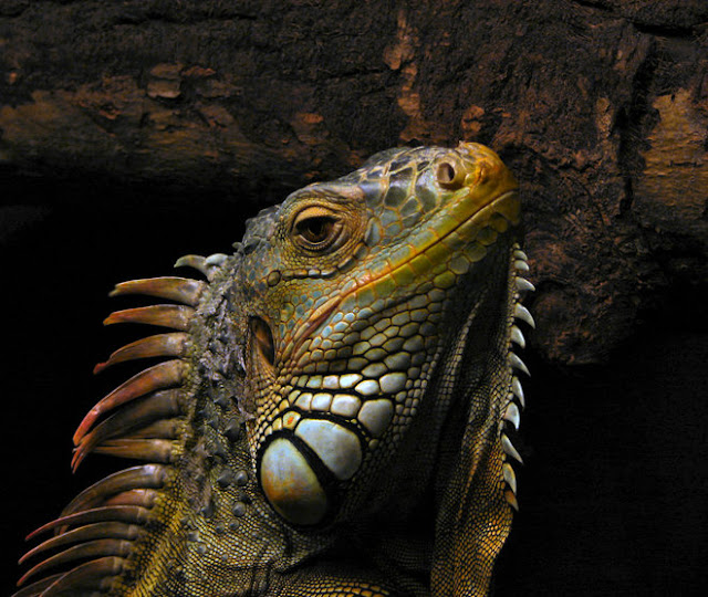 Florida Scientists Are Running Around at Night Bashing in Iguanas' Skulls