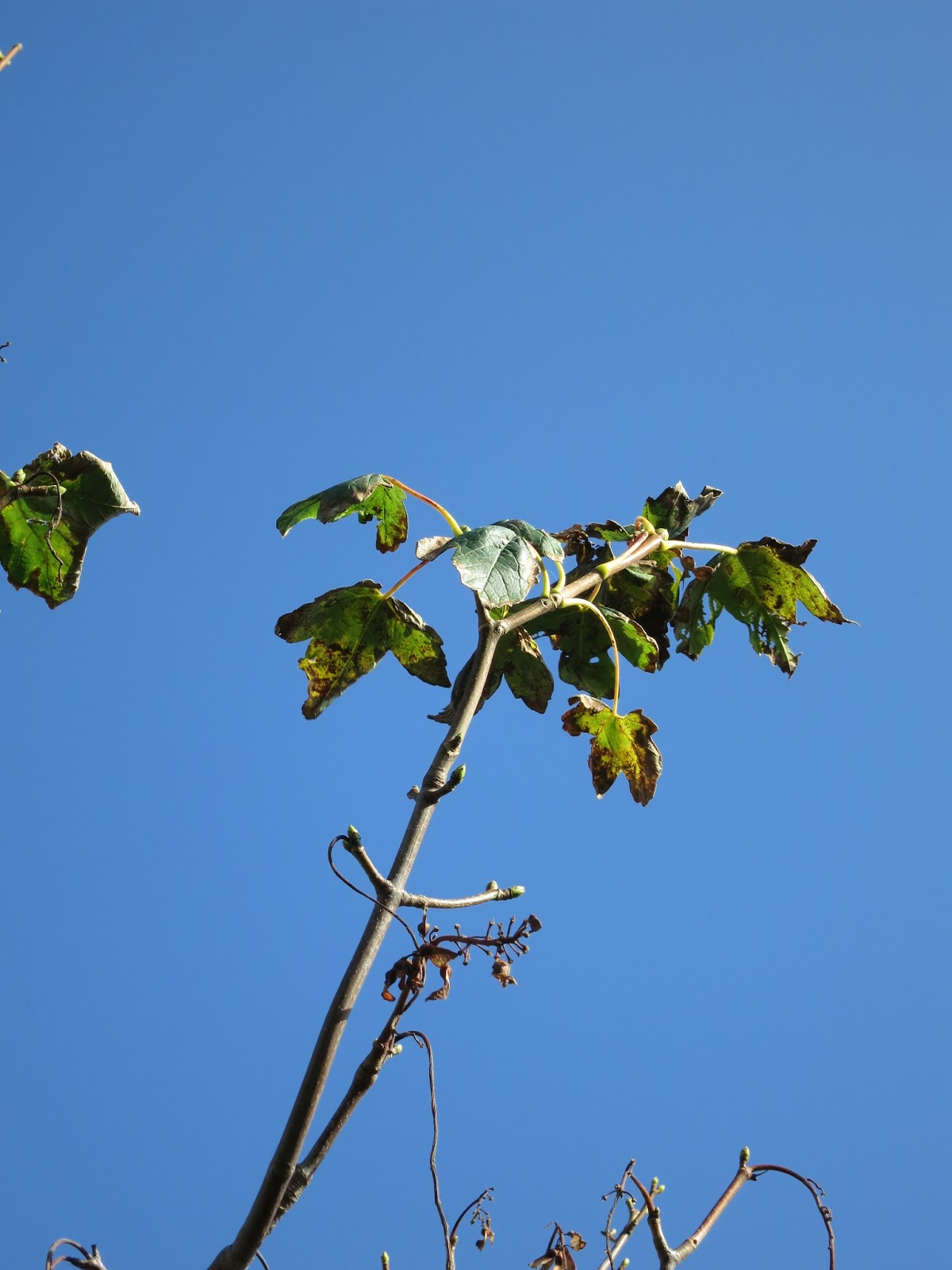 Sycamore (?) leaves dying against a blue autumn sky.