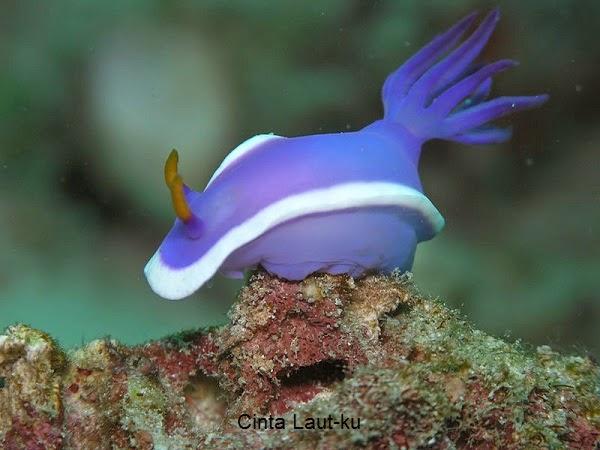 kelinci laut atau nudibranchia