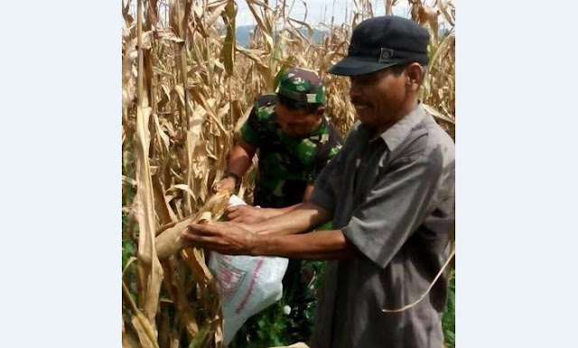 Babinsa Koramil 15/SPS Dampingi Petani Panen Jagung di Desa Tinokah. Kec. Sipispis