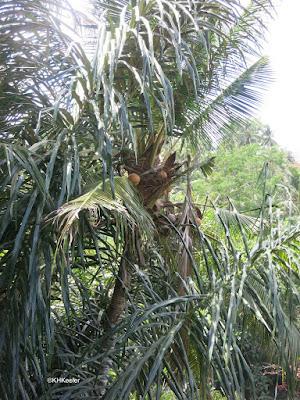 palm, Arecaceae
