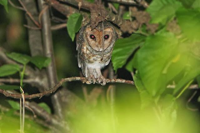 salah satu burung hantu endemik Indonesia yang hidup di wilayah Maluku Selatan ini dikena Mengenal Burung Hantu Serak Kecil