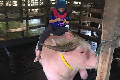 Kenalan Dengan Nadia Si Gadis Kerbau Berwarna Pink