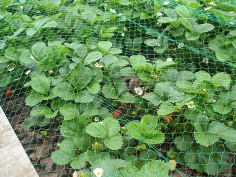 Fresas protegidas por una red