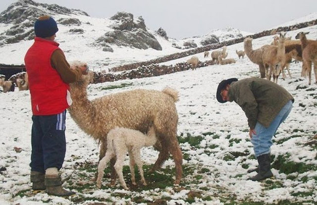 Arequipa: El fuerte frío ya cobró la vida de 5 mil 900 alpacas