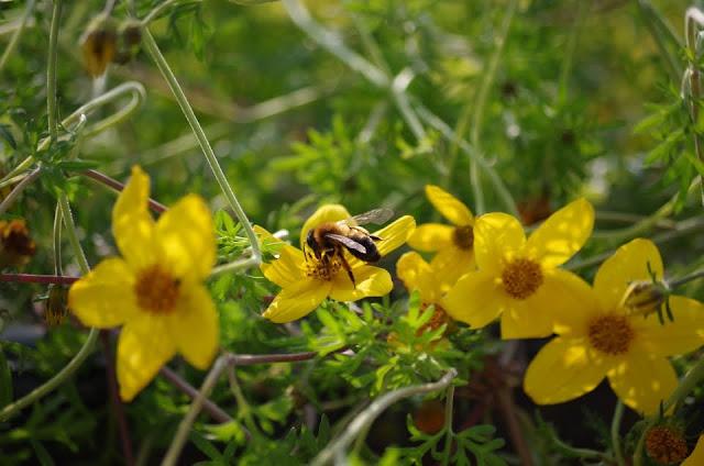 pszczółka na uczepie rózgowatym